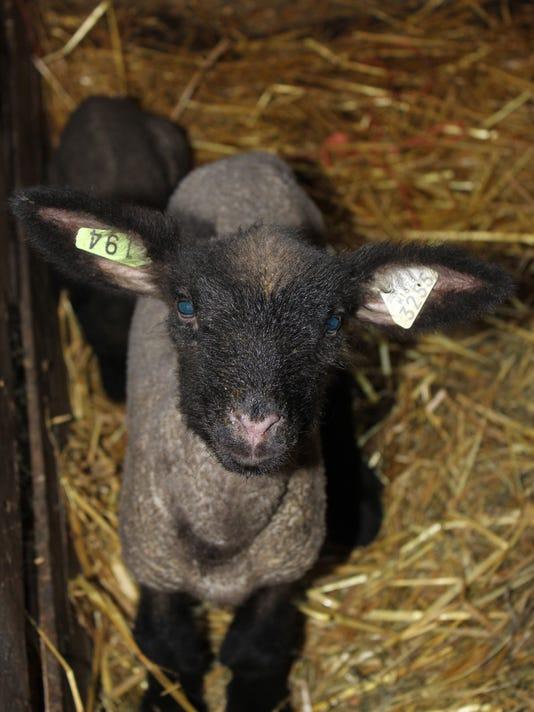 -Lamb-1.jpg