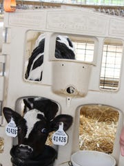 Whole milk for calves can be sourced from several different areas of any given dairy operation, including saleable bulk tank milk, transition milk, mastitic milk and other non-saleable milk antibiotic-containing milk.