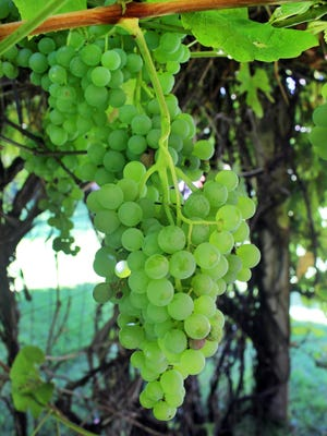 It's grape harvest time in Southern Colorado and the Winery at Holy Cross Abbey is purchasing grapes in Canon City for its Wild Canon Harvest wine.