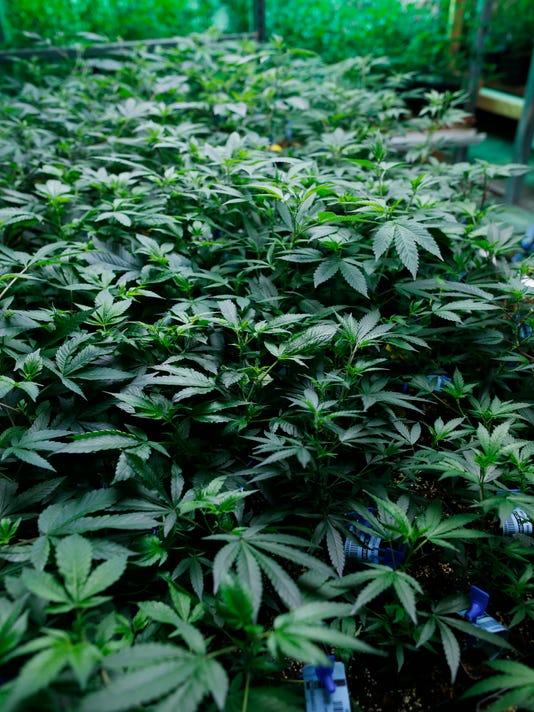 Marijuana grow room at Medicine Man