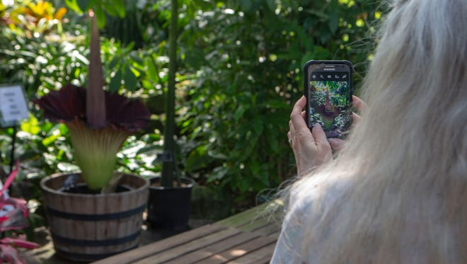 A woman takes a photo of the recently bloomed corpse flower at the Mitchell Park Domes in Wisconsin.