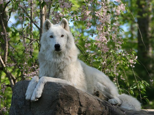 Families can enjoy interactive presentations on the history and ecological importance of wolves at the Wolf Conservation Center.