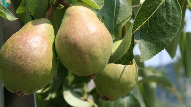 Pears, which don't ripen on the tree, need a period of cold storage before they're good to eat.