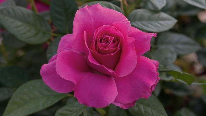 Pretty Lady Rose is a hybrid tea bush with pink flowers and ruffled petals named for Lady Rose MacClare.