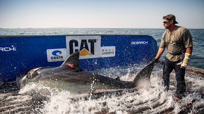Researchers from OCEARCH catch and tag Katharine, the great white shark, on Aug. 19, 2013. After being silent since January, Katharine pinged off the coast of North Carolina, near Kitty Hawk.