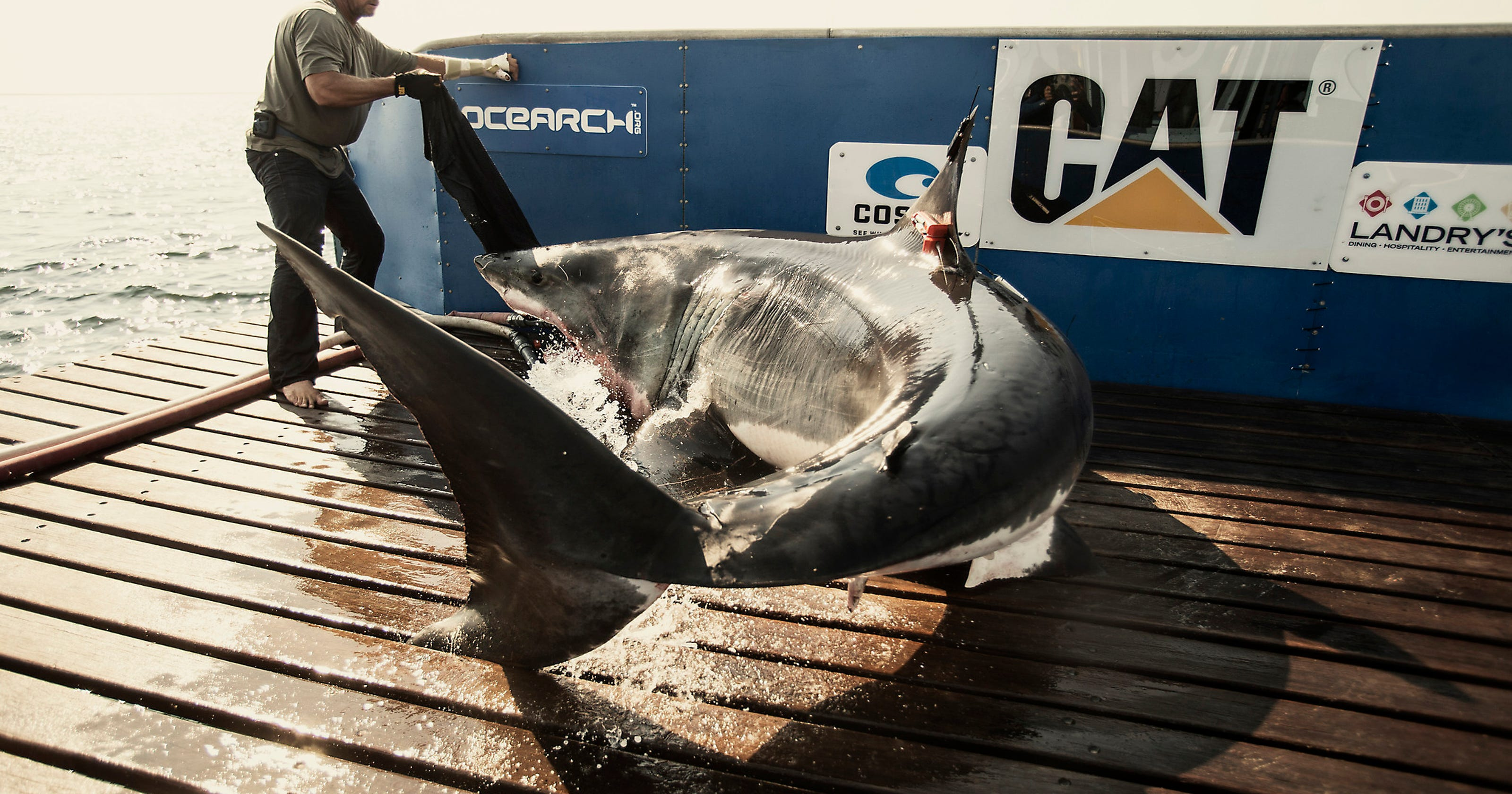 Great white shark Katharine leaves Florida behind | Videos, photos