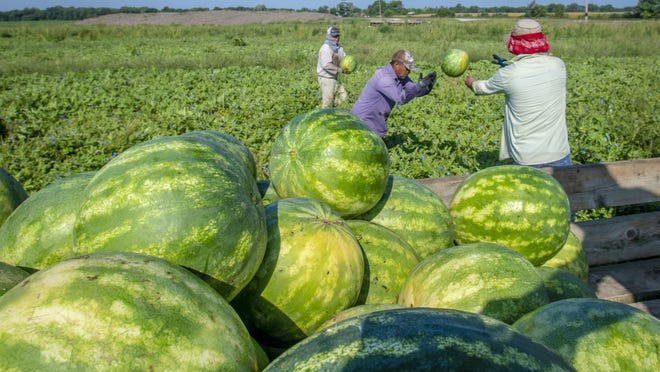 Workers harvest 40 acres of watermelons from the Krueger Farm outside of Letts, Iowa. Local public health agencies across the country are helping farms and small buisnesses keep their farm employees safe during the coronavirus outbreak by advising them on testing, tracing and workplace safety.