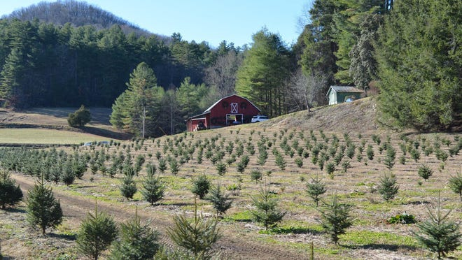 Visitors hunt for the perfect tree at Camps Tree Farm in Zirconia Dec. 1, 2019.