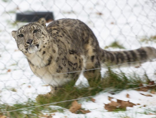 Raj, the snow leopard, plays along the fence at Binder
