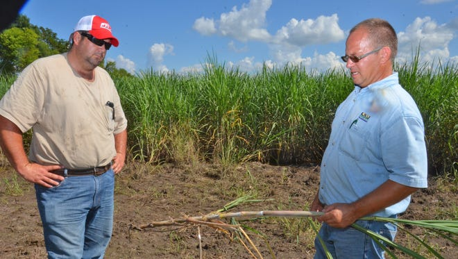 Sugarcane farmer Justin Frederick, left, and Stuart Gauthier, LSU AgCenter county agent in St. Martin Parish, examine a sugarcane stalk that had been flooded with 2 feet of water in a field near Arnaudville.