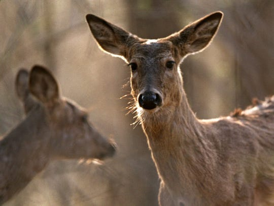 A white-tailed deer roams the woods at Kensington Metro Park in Milford.