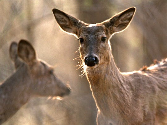 White-tail deer in Michigan