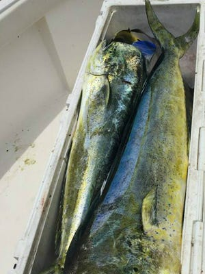 Over 100 pounds of dolphin fillets were brought in by the Marsocci family fishing Monday offshore of Fort Pierce.