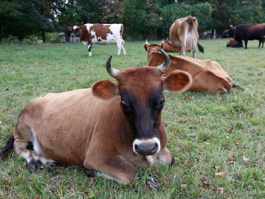 The cows in a field at The Fellowship Community in Chestnut Ridge.