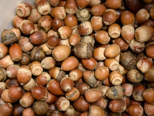Acorns are collected for planting Friday, Oct. 13,