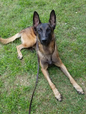 Barco, a 3-year-old Belgian Malinois