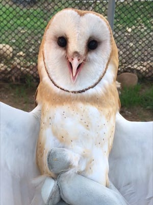 Staff at the Ojai Raptor Center knew a barn owl injured in the Thomas Fire had recovered when he was able to hunt mice.