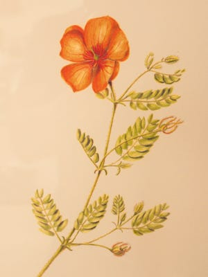 Arizona-poppy (Kallstroemia grandiflora), Caltrop Family Zygophyllaceae, by Marsha Bennett, 2012. Colored pencil. Part of the exhibit ''Drawing Us Together — Live, Learn and Fall in Love with the Flora of North Mountain' at North Mountain Visitor Center in Phoenix.
