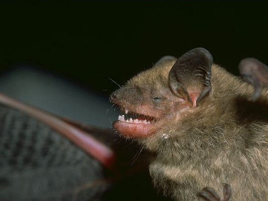 Brown bats are common at Ball State University.