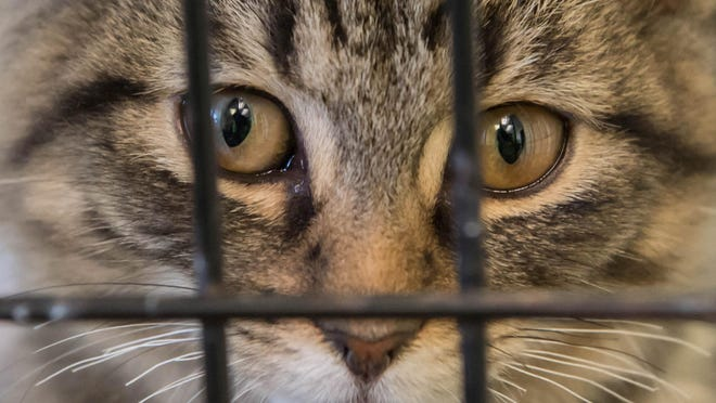 One of the many cats being housed at the Calhoun County Animal Center.