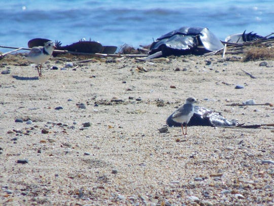 Piping plovers are finding a new place to breed and raise young on Fowler Beach at Prime Hook National Wildlife Refuge.