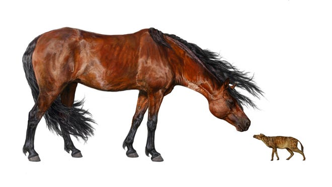 This artist rendering provided by the Florida Museum of Natural History shows a comparison of a Sifrhippus sandrae, right, with a modern Morgan horse that stands about 5 feet tall at the shoulder and weighs about 1,000 pounds. Global warming often leads to global shrinking for mammals, like us, a new study suggests. At least twice before in Earth''s history, when carbon dioxide levels soared and temperatures spiked, mammals shriveled in a bit in size, including our earliest primate ancestor, according to a new study based on fossil teeth found in Wyoming.