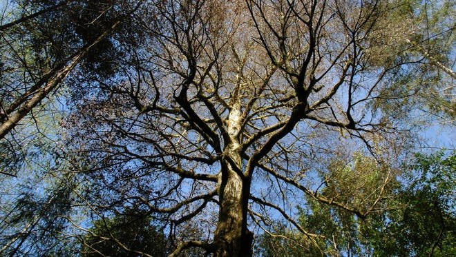 """The sudden death oak pathogen is capable of killing large tanoak trees in a relatively short time, hence the name """"sudden oak death""""."""