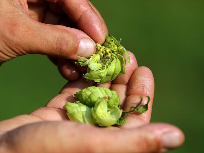The flavor from hops is derived from the center which