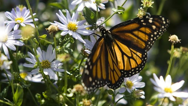 A Monarch Butterfly enjoys the flowers after being released from captivity. Doug Hood/ Asbury Park Press- Little Silver, NJ- 08.14.10 (#7581)