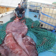 In this Dec. 2013, photo provided by a crew member of the boat San Aspring of New Zealand fishing company Sanford, Capt. John Bennett shows a colossal squid he and and his crew caught on the boat in Antarctica's remote Ross Sea. The creature, which has tentacles like fire hoses and eyes like dinner plates, was caught a mile below the surface.
