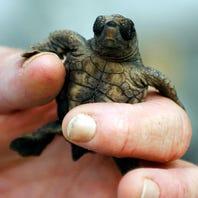 Gulf Islands National Seashore will stop night monitoring of sea turtle nests