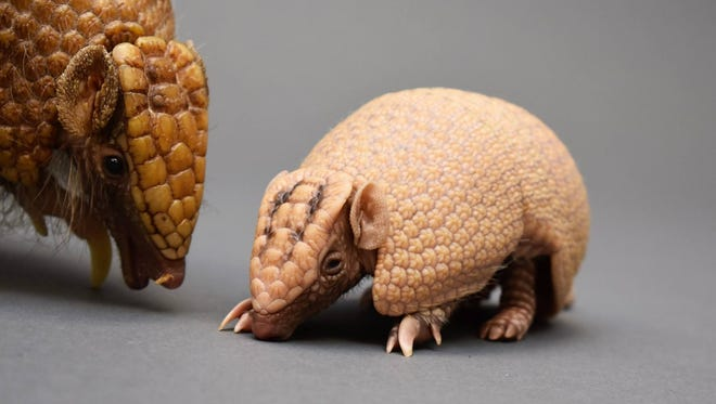 Lady Gaga the armadillo pictured with her latest baby, Alejandro. The armadillo mom is expecting again, according to the Downtown Aquarium in Denver.