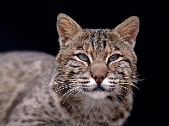 Bobcat hunting and trapping could come to indiana for Indiana fishing license age