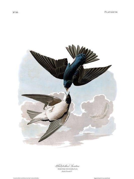 Audubon swallow