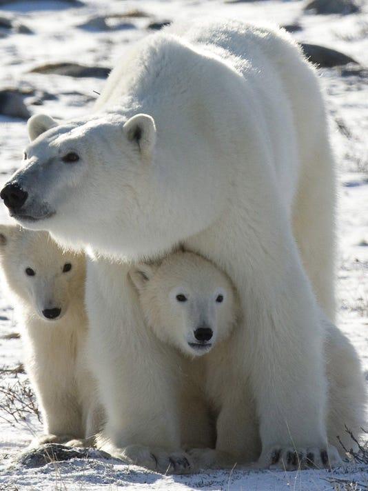 AP_Polar_Bears_NY108