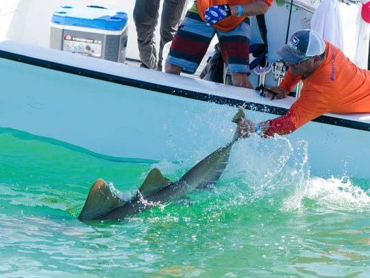 """Team """"Fishing and Chips"""" releases an 8-foot nurse shark"""
