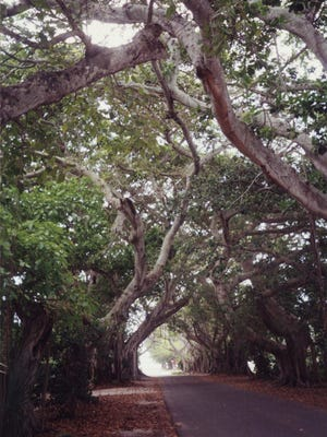 Boca Grande's Banyan Street is lined with its namesake trees.