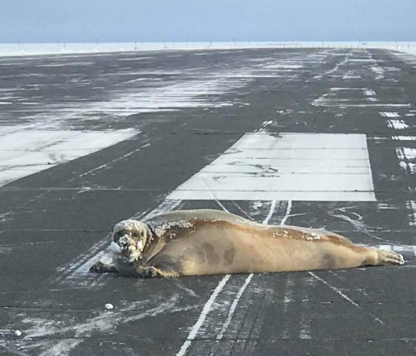 In 2017, crews clearing snow at the Wiley Post-Will Rogers Memorial Airport in Utqiaġvik (the city formerly known as Barrow) came upon a 450-pound bearded seal lounging on the runway.
