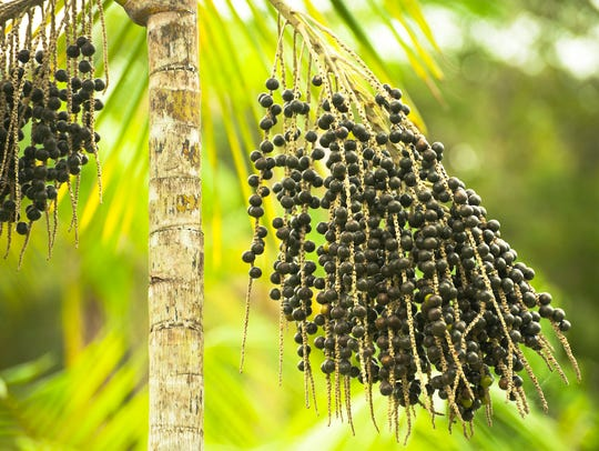 Açaí - fruit of the açaí palm - is a tropical berry.