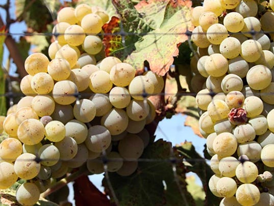 Wine making Northern Nevada