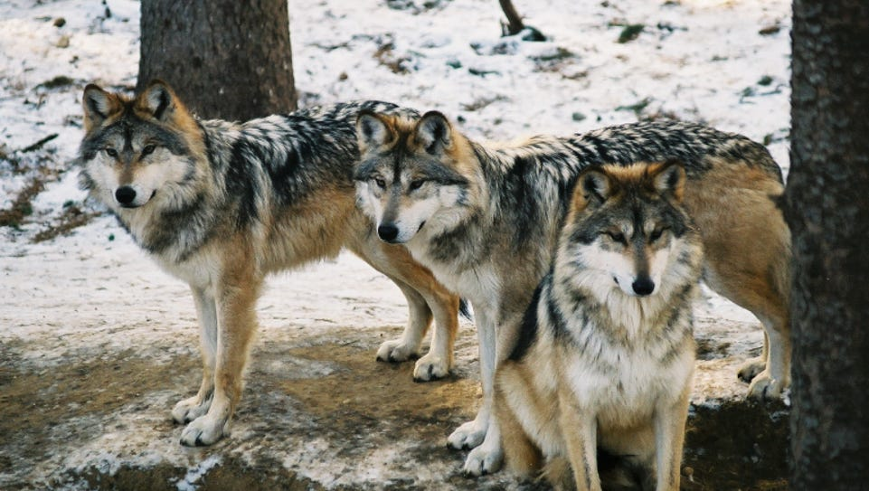 Mexican gray wolves at Binder Park Zoo.