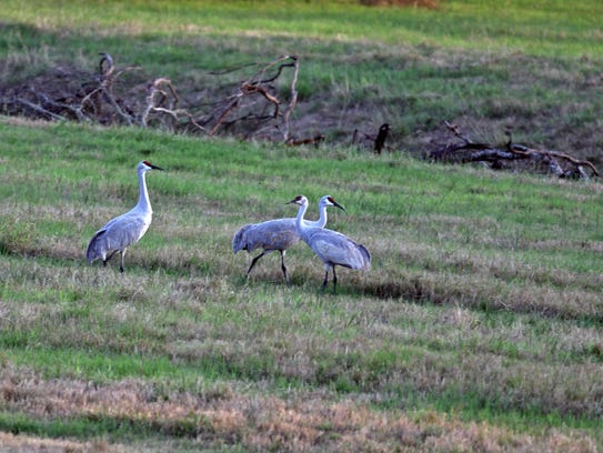Sandhill cranes are abundant this time of year at Knolle