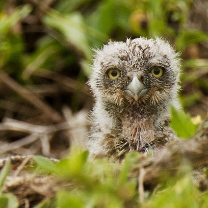 A burrowing owl chick peers from it's Cape Coral burrow