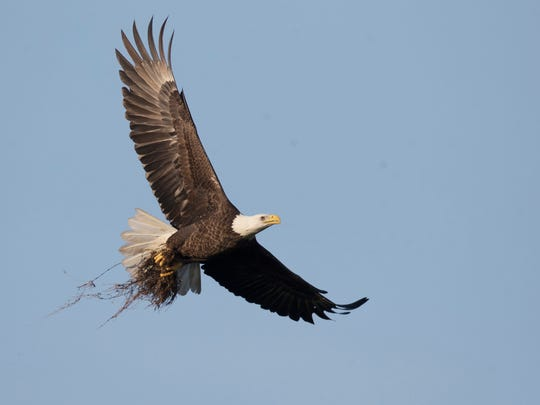 One of the bald eagles from the famous eagle cam in