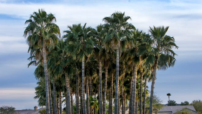 A Mesa retirement community is home to 2,652 palm trees.