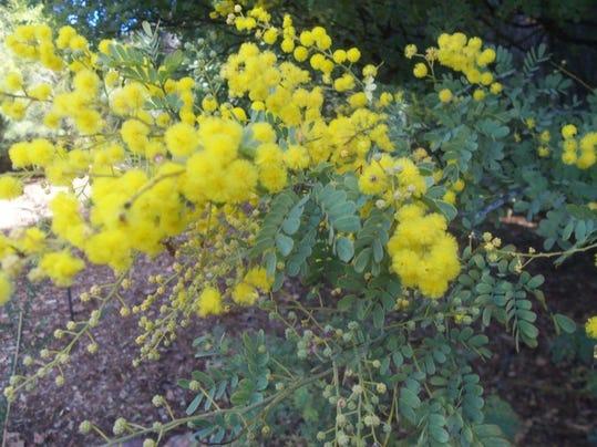 Acacia subulata.jpg