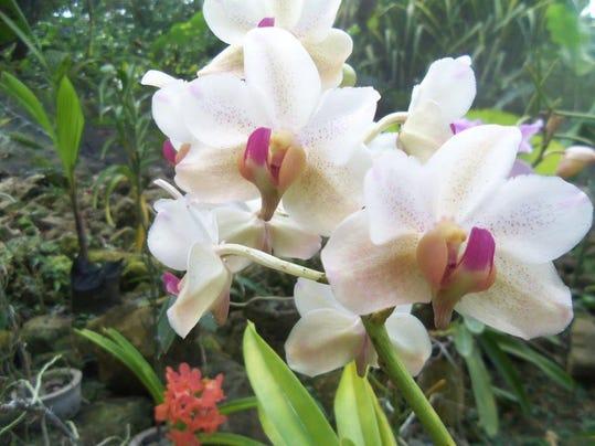 Blooming Orchid.jpg