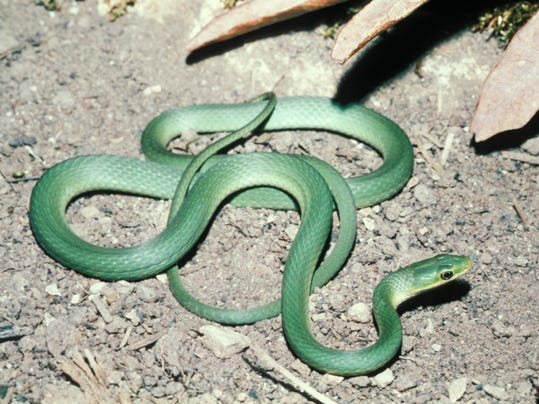 Rough Green Snake.jpg