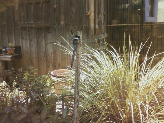 Dragonfly-resting-in-my-garden-1024x768.jpg