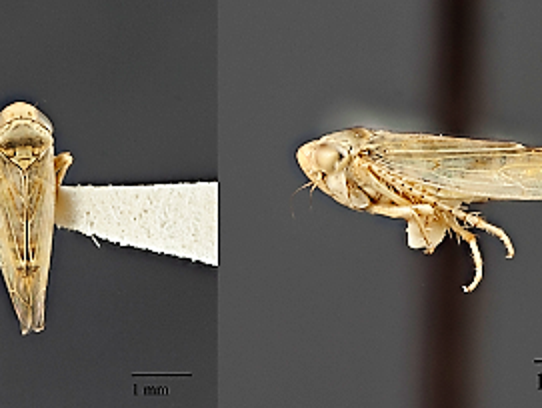 The culprit: Beet leafhopper, the insect vector of